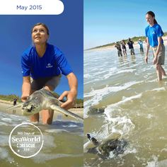 SeaWorld returns three of the world's most endangered sea turtles back to the ocean! These Kemp's ridley sea turtles were part of a mass cold stranding event that occurred last November. The recovered their strength and were cleared for return! #365DaysOfRescue
