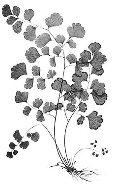 Maidenhair Fern Tattoo Fern tattoo idea