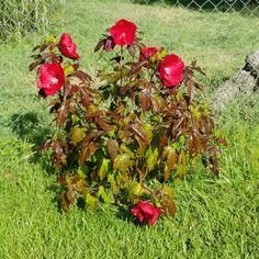Hibiscus Midnight Marvel - Shrub | Spring Hill Nurseries Hibiscus Bush, Spring Hill Nursery, Shrubs, Nurseries, Bloom, Marvel, Plants, Colour, Flowers