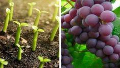 Artigo Aprenda a cultivar uvas em sua casa, é mais fácil do que parece.