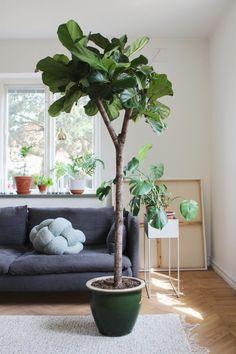 Ficus lyrata (hejregina) for My sewing room Interior Wood Shutters, Interior Plants, Interior Exterior, Interior Doors, Indoor Fig Trees, Indoor Plants, Balcony Plants, House Plants Decor, Ficus