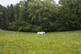 White Horse in Field with Trees Veggoverføringsbilde av Henri Silberman