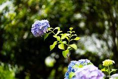 写真 紫陽花 202002 蒸し暑い梅雨