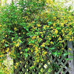 Winter jasmine (<i>Jasminum nudiflorum</i>)  - Best Winter Flowers for Color - Sunset