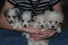 PUPPIES is an adoptable Maltese Dog in Hamilton, IL. These pups are Maltese/Chihuahua mixes.  2 boys and 2 girls.  They will not be ready to go for until 4/26/13.  If you would like an application ple...
