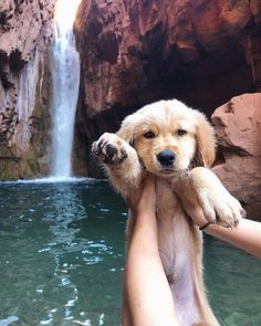This loveable puppy golden retriever will bring you joy. Dogs are amazing creatures. Cute Baby Animals, Animals And Pets, Funny Animals, Dog Tumblr, Animal Tumblr, Cute Dogs And Puppies, Doggies, Adorable Puppies, Cute Animals Puppies