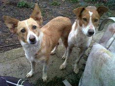 SPECIAL!!       VALLE &TURO horen bij elkaar!!               Zoeken SAMEN een KERSTMAND!!      http://www.podencoworld.nl/adoptiehonden/honden/1-podencos/128-valle…