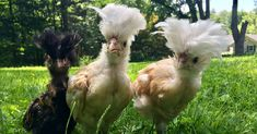 Now Coming to a Backyard Near You:  Weird Chickens - WSJ