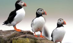 Puffins on the Farne islands, Northumberland © Owen Humphreys