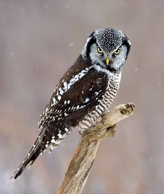 Northern Hawk Owl (Surnia ulula) - Picture 12 in Surnia: ulula - Location: Quebec, Canada. Photo by Rachel Bilodeau.