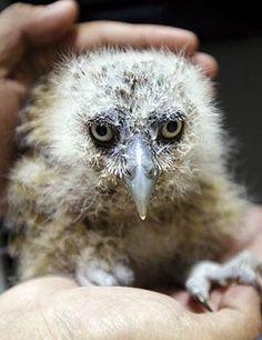 young Malay fish owl