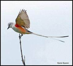 Scissor-tail flycatcher is Oklahoma's state bird.