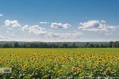 Sunflower Field by paulsikorski. Please Like http://fb.me/go4photos and Follow @go4fotos Thank You. :-)