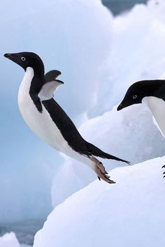 I can fly .Antartica- It's all about the penguins. Beautiful Birds, Animals Beautiful, Cute Animals, Funny Animals, Baby Animals, All Gods Creatures, Sea Creatures, Pinguin Drawing, Penguin Love