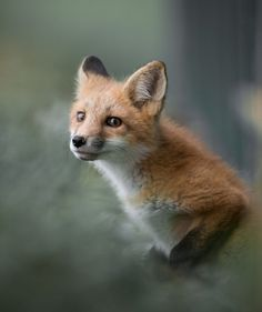 Red Fox Cub by Justin Russo