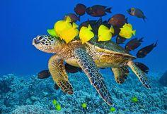 Green Sea Turtle found in the coral reefs of Kailua-Kona, Hawaii