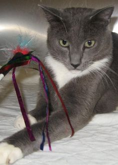 1000 Images About Grey Tuxedo Cats On Pinterest Grey