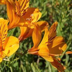 Soleil leuchtstern pour env 10 plantes graines Coupe Fleur vivaces remises parterre