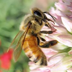 Providing honey bees with late blooming flowers will help to increase their survival. Great choices are Asters, Goldenrod, Helenium, Perennial Sunflower and Sedum.