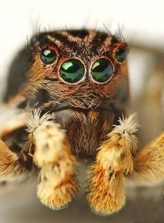 Solve Aelurillus v-Insignitus jigsaw puzzle online with 221 pieces Tiny Spiders, Spiders And Snakes, Most Beautiful Animals, Beautiful Creatures, Spider Species, Jumping Spider, Beetle Bug, Animals Of The World, Beetles
