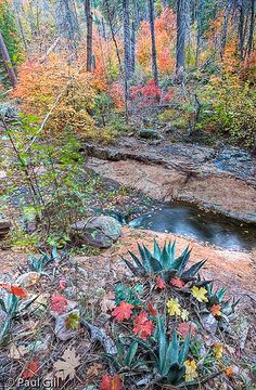 agave and maple leaves in autumn, Workman Creek, Sierra Ancha, Tonto National Forest, Arizona | Paul Gill