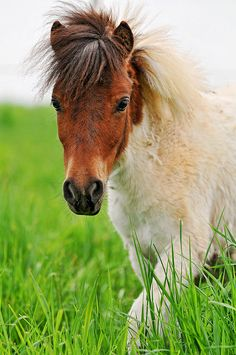 A Shetland mini pony of my friend living in Bavaria (Germany) walking in the high grass (for her) of her pasture. Her name is Knöpfchen. :) by Tambuko the jaguar (spelling?)