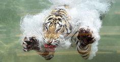Tigre de Bengala mergulha na água de tanque em seu recinto no Six Flags Discovery Kingdom em Vallejo, na Califórnia (EUA)