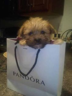 Diego the Pandora Pup. #yorkipoo #presh #dog