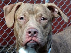 TO BE DESTROYED TUE, 1/28/14 - Manhattan Center GREEN EYE - ID#A0989291 MALE, BROWN / WHITE, PIT BULL MIX, 3 yrs STRAY - ONHOLDHERE, HOLD FOR DISASTER Reason STRAY Intake condition NONE Intake Date 01/11/2014, From NY 10456, DueOut Date 01/17/2014, I came in with Group/Litter #K14-165284.