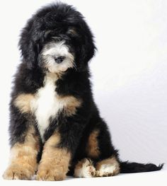 bernedoodle = bernese mt dog + poodle. OMG! I'm now convinced all you have to do is add poodle to a breed and wala,  cuteness.
