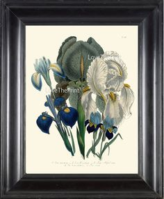 Beautiful print based on antique botanical illustration from 1841 by Loudon. Wonderful details, colors and natural history feel. Watermarks will not