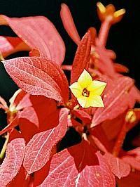 Arbusto muito vistoso, de folhagem e floração bastante ornamentais. A mussaenda-vermelha apresenta folhas arredondadas, com sulcos bem marcados. A inflorescência é composta de flores pequenas,...