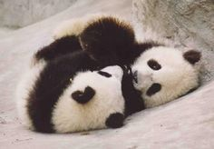 Pandas Photo: More Cute Pandas!