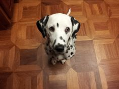 Dalmatian Mina - What has she done now????