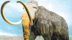 The woolly mammoth roamed the Earth tens of thousands of years ago, so when Russian scientists found a well-preserved female mammoth carcass it arose the possibility of cloning the prehistoric animal whilst extracting it from the ice. The scientists on the expedition found blood still in liquid form within the stomach which was lined with preserved muscle tissue. Global warming is thought to be the instigator in thawing land in northern Russia, leading to numerous discoveries of mammoth…