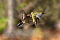 Finch and greenfinch. by serebro56 via http://ift.tt/1TZVkWj