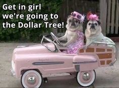 Pugs in a Car funny animals dogs dog puppy pug cute animals doggy pup dog gifs animal gifs cute gifs Funny Dogs, Funny Animals, Cute Animals, Funny Images, Funny Pictures, Fu Dog, Gifs, Cute Pugs, Pug Love