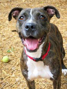 St Louis, MO Boxer/Great Dane Mix. Meet Anna, a dog for