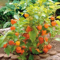 Chinese Lantern | Physalis alkekengi (Ground Cherry, Japanese Lantern) | Hardy Perennial |  Grown for the intriguing papery lanterns which enclose its bright orange autumn fruits. The stems of vibrant lanterns can be cut for dried flower arrangements, or left on the plant where they add winter interest; slowly becoming ornate skeletons.