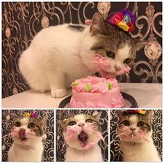 Pin for Later: These Adorable Animals Eating Treats Are All of Us on a Cheat Day This Cat Who Want That Cake Cake Cake Cake Cake