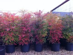 Nandina domestica 'Sacred Bamboo' - Nandina will grow just about anywhere. Full sun, frost hardy, tolerant of dry periods and in a wide range of soil types it is almost 'Bomb Proof'. Bright red berries keep their color all throughout winter. Backyard Plants, Garden Shrubs, Landscaping Plants, Outdoor Landscaping, Front Yard Landscaping, Garden Pots, Small Gardens, Outdoor Gardens, Drought Tolerant Trees