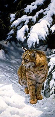 Under the pines - Bobcat...