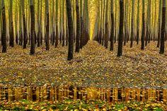 Autumn in Oregon golden poplar tree reflection America the Beautiful in Autumn