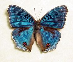 madagascar butterfly - Google Search
