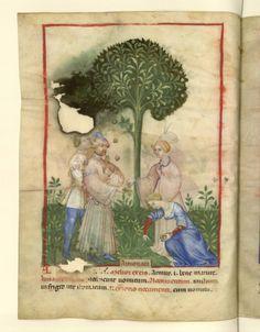 Nouvelle acquisition latine 1673, fol. 7v, Récolte des abricots. Tacuinum sanitatis, Milano or Pavie (Italy), 1390-1400.