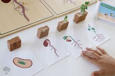 Ciclo de vida de la planta de inspiración Montessori Free Preschool, Preschool Science, Science Experiments Kids, Preschool Classroom, Science For Kids, Science Projects, Reggio, Teaching Kids, Kids Learning
