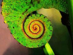 Kunterbunt: Dieser Reptilienschwanz gehört einem Chamäleon – Bild: Shutterstock / Amanda Winter    www.einfachtierisch.de