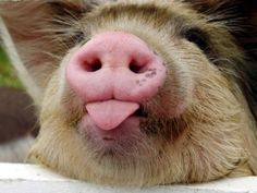 Cheeky Piggy poking its Tongue out