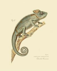 Cameleon Veuqueux - aka Madagascar Giant Chameleon (http://rhamphotheca.tumblr.com/post/12978126998/cameleon-veuqueux-aka-madagascar-giant-chameleon)