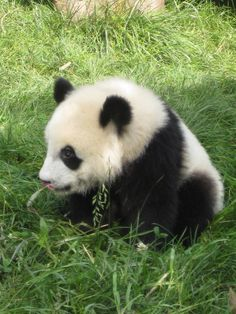 Are You A Real Panda Or A Dog Painted To Look Like A PandaYou got: Real panda You're a real panda. You probably just didn't realize because you're a dumb panda. Way to be authentic.